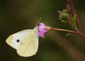Farfalla posata su un fiore